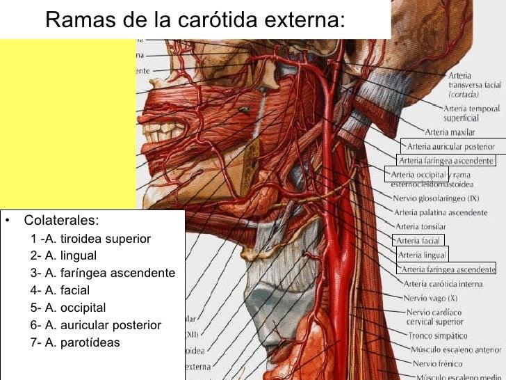 Magnífico Cuello Diagrama Músculo Del Hombro Motivo - Anatomía de ...