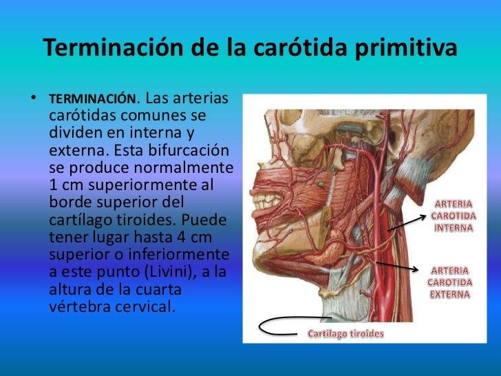 Vistoso Ubicación De La Arteria Carótida Imagen - Anatomía de Las ...