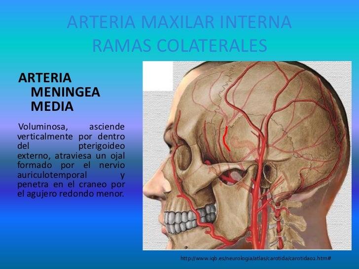 Dorable Anatomía De La Arteria Meníngea Media Fotos - Anatomía de ...