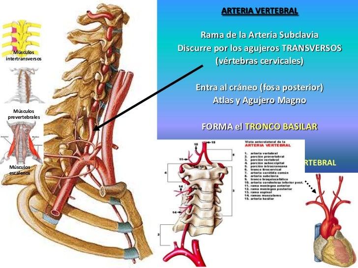 Atractivo Anatomía De La Arteria Vertebral Ilustración - Anatomía de ...