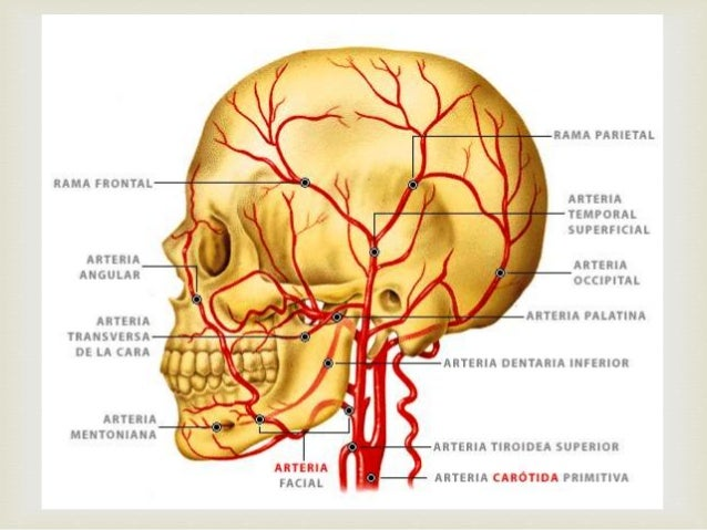 Arterias de la cabeza
