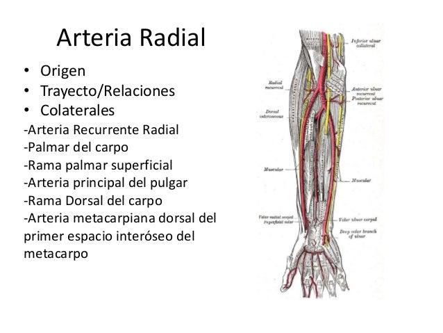 Arterias del antebrazo y la mano