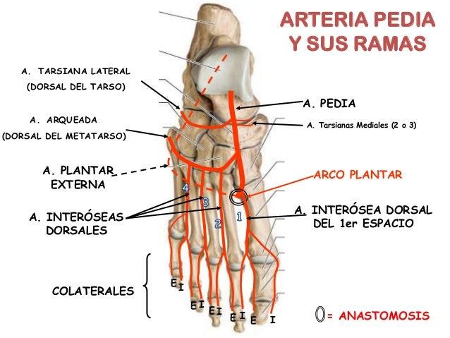 ARTERIAS DEL PIE GRUPO ATLAS ANATOMIA HUMANA