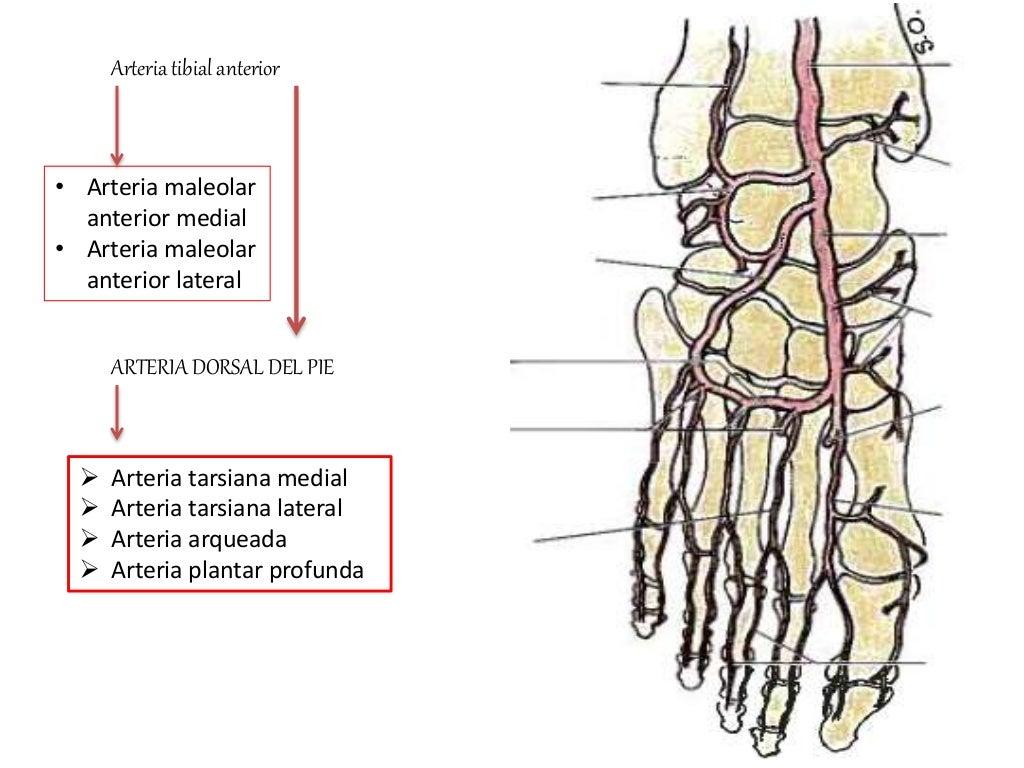 Arterias y venas del pie