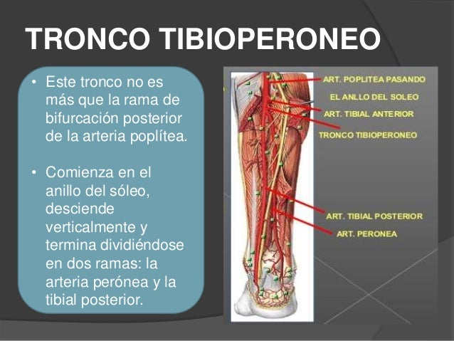 Arterias pierna