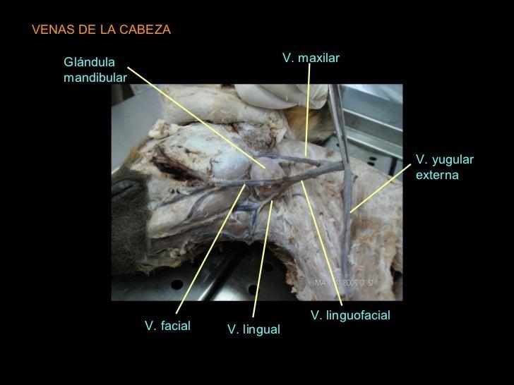 Arterias, venas y nervios de cabeza