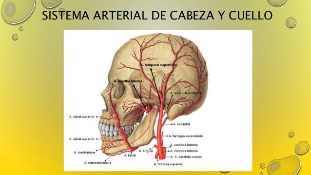 El embarazo de los músculos de la espalda el tratamiento