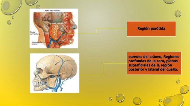 Arterias, venas y nervios de cabeza y cuello