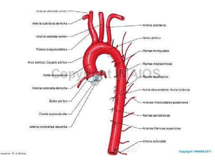 Arterias, venas y nervioso del cuello