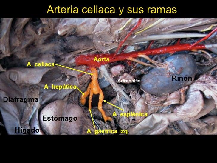 Arterias y nervios de la cavidad abdominal