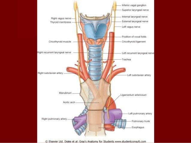 Arterias y venas del cuello