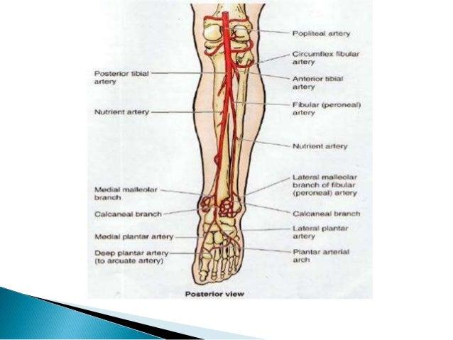 Arteria tibial anterior, pedia, tronco tibio peroneo y arcos plantares