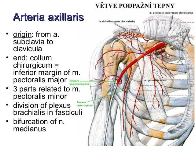 Arteries of human body - Arterije tela