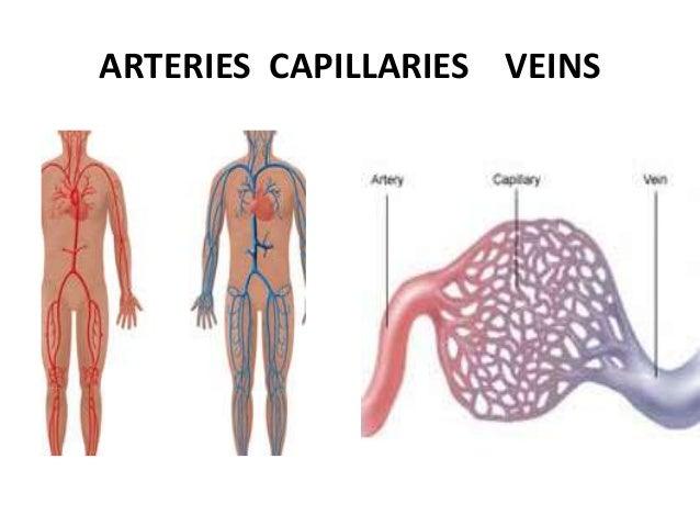 Arteries capillaries veins