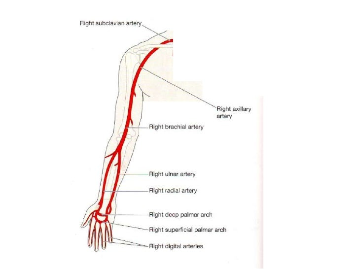 how to remember arteries and veins