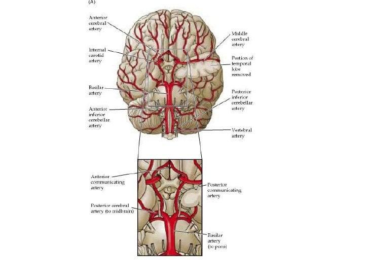 Arteries Veins Of The Upper Body