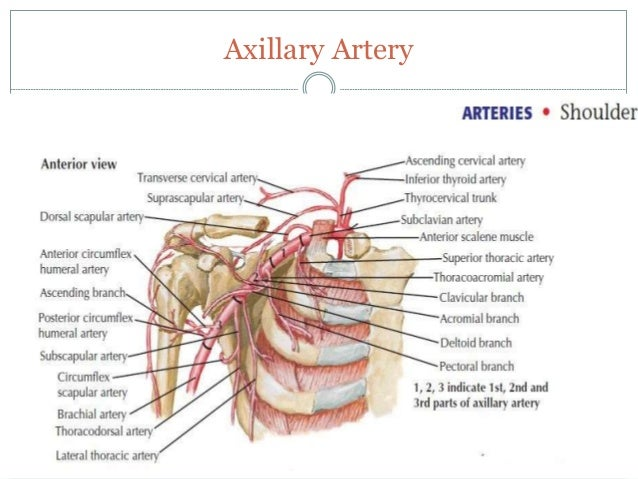 Arterial Supply of Upper Limb