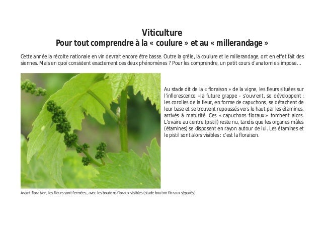 Viticulture Pour tout comprendre à la « coulure » et au « millerandage » Cette année la récolte nationale en vin devrait e...