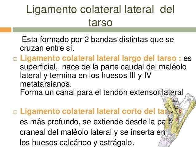 Articulación del carpo y tarso de Equino. anatomia comparada FCV-LUZ