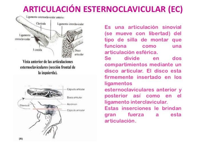 articulaci n esternoclavicular