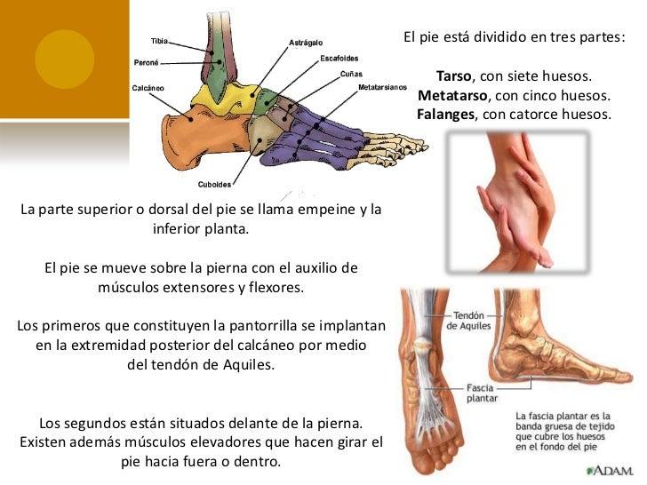 Articulación, huesos y músculos del pie