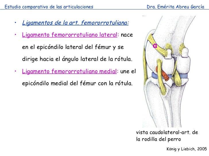 Articulación miembro pelviano comparada