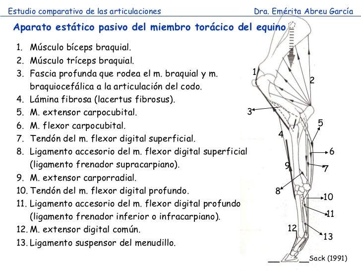 Articulación miembro torácico comparada-2012