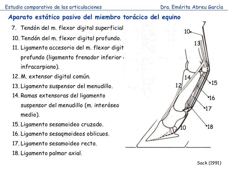 Hermosa La Anatomía Del Miembro De Caballos Fotos - Anatomía y ...