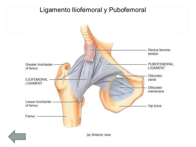 Articulación Coxofemoral Miembro Inferior
