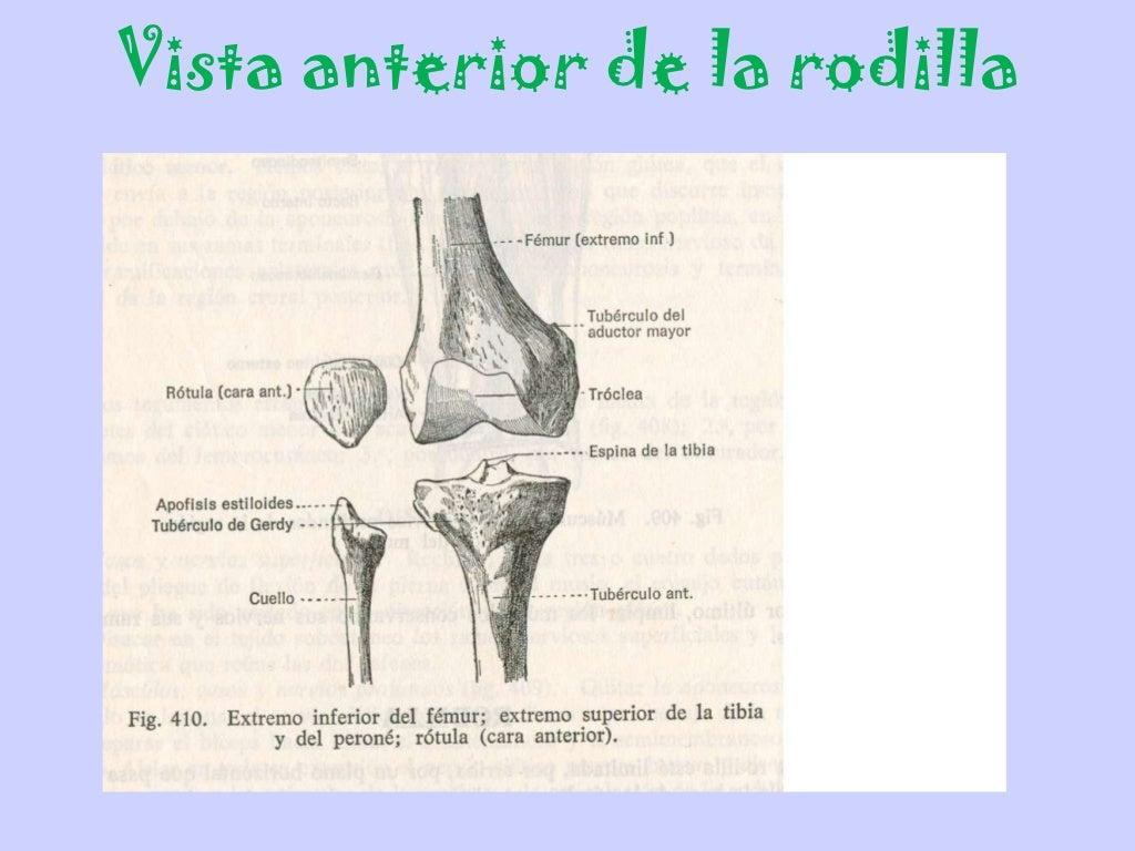 Articulacion d rodilla