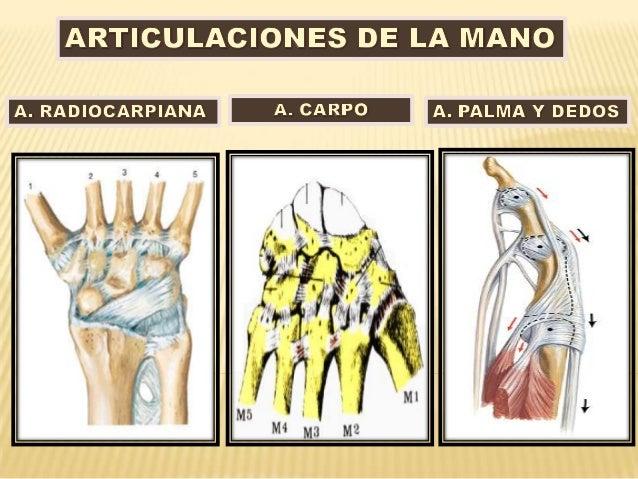 Articulaciones de muñeca y mano