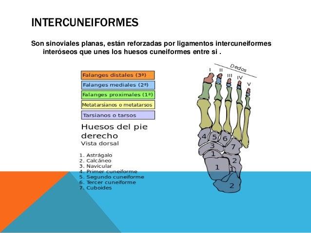 TARSOMETATARSIANAS Son articulaciones sinoviales planas entre los huesos del tarso y del metatarso-. El primer metatarsian...