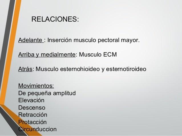 Articulaciones mimbro superior for Esternohioideo y esternotiroideo