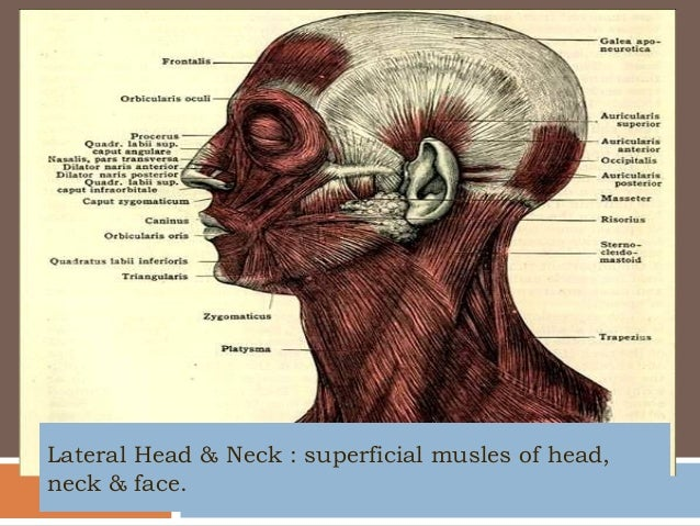 Articulator Muscles And Speech Language Disorders