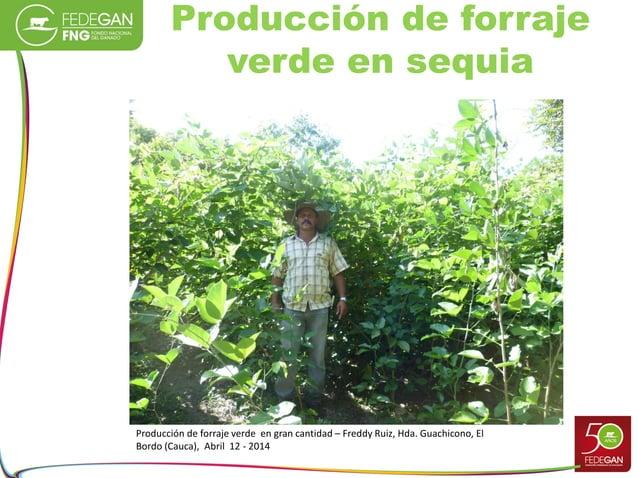 Producción de forraje verde en sequia Producción de forraje verde en gran cantidad – Freddy Ruiz, Hda. Guachicono, El Bord...