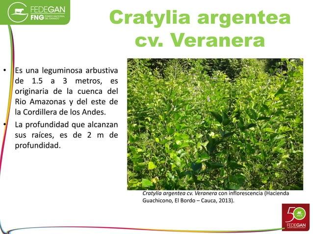 Cratylia argentea cv. Veranera • Es una leguminosa arbustiva de 1.5 a 3 metros, es originaria de la cuenca del Rio Amazona...