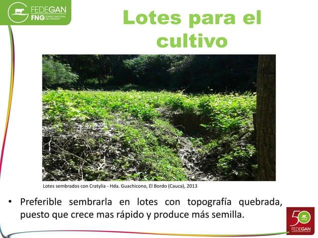 Lotes para el cultivo • Preferible sembrarla en lotes con topografía quebrada, puesto que crece mas rápido y produce más s...