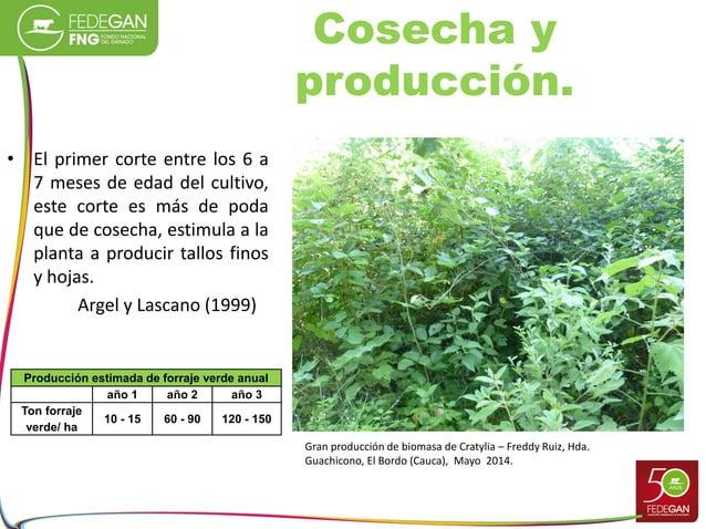 Cosecha y producción. • El primer corte entre los 6 a 7 meses de edad del cultivo, este corte es más de poda que de cosech...