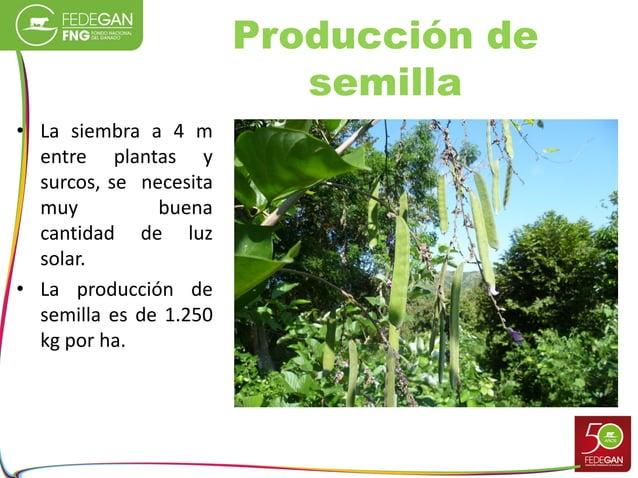 Producción de semilla • La siembra a 4 m entre plantas y surcos, se necesita muy buena cantidad de luz solar. • La producc...