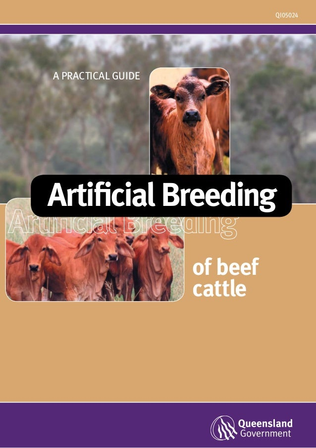 Artificial breeding of beef cattle (australia)