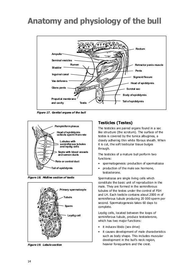 Beef Cattle Anatomy Gallery - human body anatomy