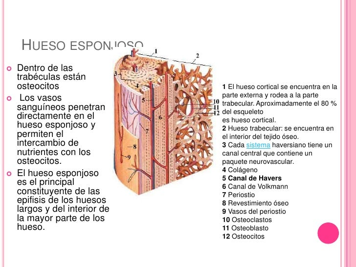 Artritis Séptica: anatomia de hueso