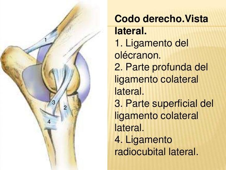 Asombroso Ligamentos Anatomía Del Codo Colección - Anatomía de Las ...