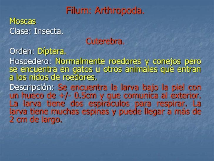 Filum: Arthropoda. Moscas Clase: Insecta.                       Cuterebra. Orden: Díptera. Hospedero: Normalmente roedores...