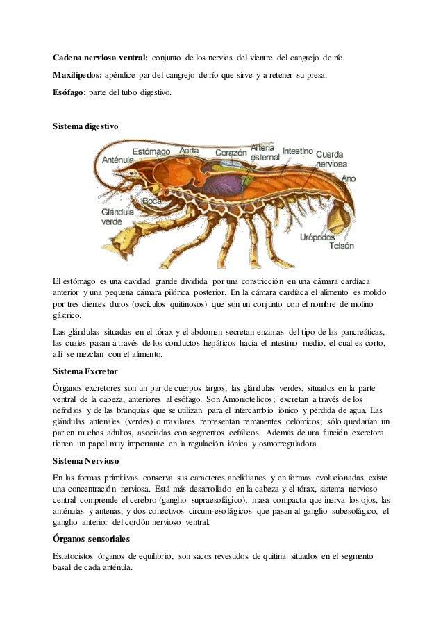 Dorable Funciones Anatomía Externa De Cangrejo De Río Colección ...