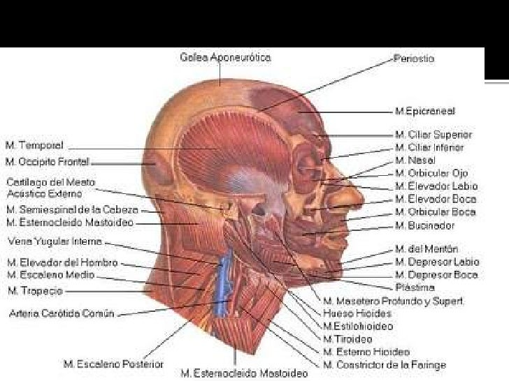 Bonito Nervios Cara Anatomía Elaboración - Anatomía de Las ...
