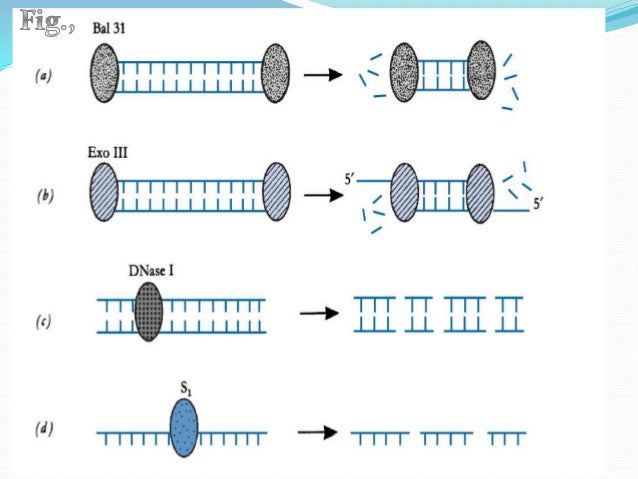 DNA Polymerases Mesophilic and thermophilic DNA polymerases for different polymerization reactions, DNA end blunting and ...