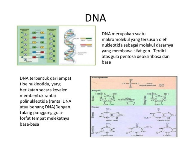 Asam nukleat dna ccuart Choice Image