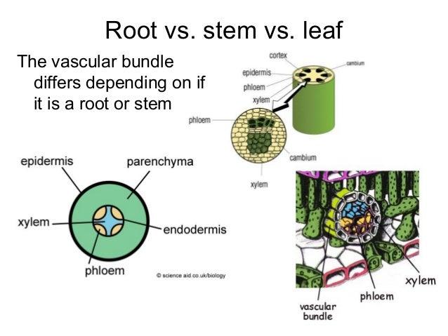 cambridge as biology plant revision