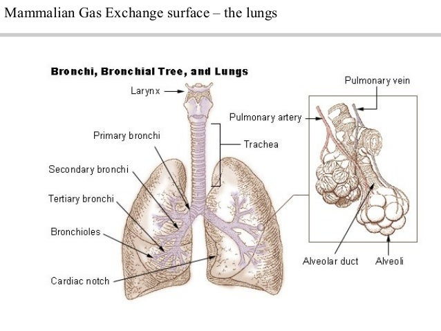 A sbreathingpptgood mammalian gas exchange surface the lungs ccuart Gallery